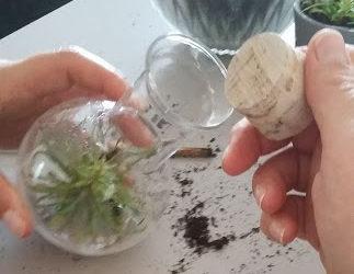 Tutoriel pour repiquer votre plante carnivore